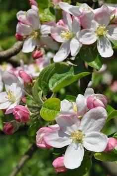 Vorfreude auf die Apfelblüte im #Frühling