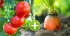 8 Vegetable Pairs That Grow Perfectly Together and 5 Combos to Avoid Growing Grapes, Growing Tomatoes, Growing Plants, Chamomile Growing, Corn Stalks, Bean Plant, Kinds Of Vegetables, Aromatic Herbs, Vegetable Seasoning