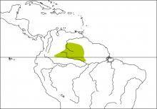 Brown-headed Greenlet (Hylophilus brunneiceps)
