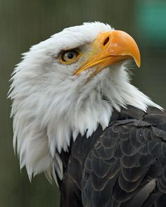 Bald Eagle - 'Devil in Feathers' American Bald EagleAmerican Bald Eagle Eagle Pictures, Bird Pictures, Animal Pictures, Eagle Face, Animals And Pets, Cute Animals, Colorful Birds, Exotic Birds, Tier Fotos