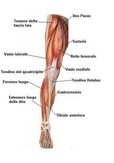 Dare un nome ai propri muscoli con la nostra mappa for Muscolo interno coscia nome