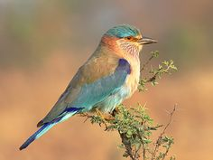 Indian Roller, Kabini. Rock 'n' Roller: Headbangers of the avian world unite. Come summer, and The Rolling Stones of Kabini are ready to put on a show like no other. The Indian Roller is not a bird that believes in silent meaningful romances. Click photo to read more