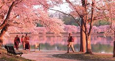 D.C. announces dates for the 2015 National Cherry Blossom Festival