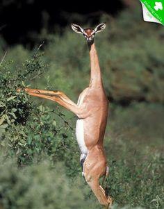 Litocranius walleri. Um antílope encontrado em regiões áridas da África. Tal espécie possui pescoço muito longo e fino, que lembra o das girafas.