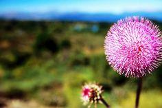 Wildflower near Bariloche, Neuquen.