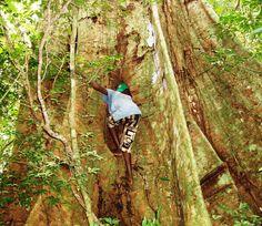 Huge cotton tree in Sierra Leone