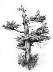 Graphite Pencil Drawings by Diane Wright (drawing trees)