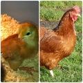 ****** DIY chicken feeder pipe! ****** - Page 26