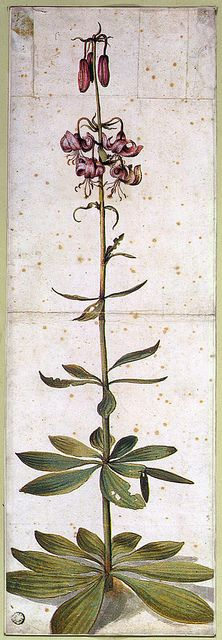 Albrecht Dürer: Turk's Cap Lily (Lilium martagon) 1545, watercolor.