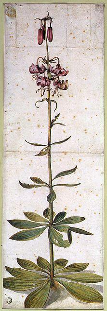 Albrecht Dürer 'Turk's Cap Lily,(Lilium Martagon)' 1545 watercolor