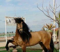 Buckskin lusitano stallion on Epona Exchange! So pretty!