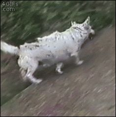 Dog enjoys using a hill to slide down to scratch his back