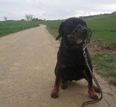 Heross, #Rottweiler, 3,5 Jahre, unsicher, da isoliert aufgewachsen, trotzdem nicht unverträglich