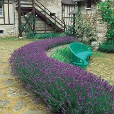Lavender - Fragrant Dwarf Munstead  Yessss just like that for the west side of house!!!