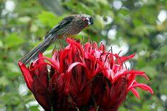 (Doryanthes excelsa, Gymea lily)  This specimen was seen in Royal Botanic Gardens, Melbourne.    The bird is Red Wattlebird, Anthochaera carunculata.