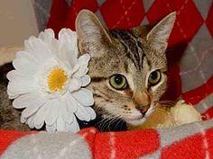 Domestic Mediumhair Kitten for adoption in Upland, California - DUCHESS
