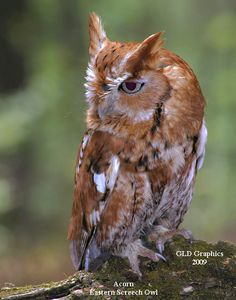 ..Eastern Screech Owl - Red Phase  By: Gary Durington..