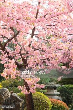 Stock Photo : Cherry blossoms