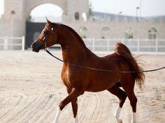 Bashir Al Shaqab (US) 2007 Stallion Marwan Al Shaqab {Gazal Al Shaqab x Little Liza Fame by Fame VF} x SWF Valencia {Psytanium x F Cognacs Fantasy by Cognac}