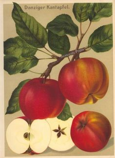 "Antique German Apple Print ""Danziger Kantapfel"" from Deutschlands Obstsorten by Eckstein and Stahle. #apple #antique"