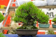 Shohin black pine extravaganza | Bonsai Tonight