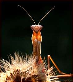 Butterflies & Insects - Praying Mantis