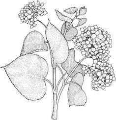 Printable Flower Coloring Pages, Coloring Sheets, Coloring Pages For Kids, Coloring Books, Coloring Stuff, Color Lavanda, Botanical Drawings, Animal Drawings, Flower Drawings