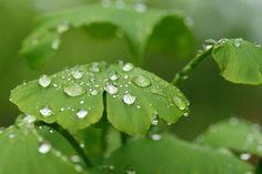 Ginkgo after rain | by Kiwibu