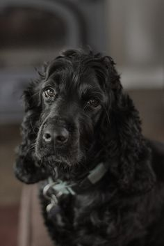 I love cocker spaniels ♥