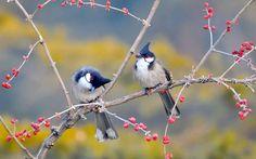 Red Whiskered Bulbul Birds