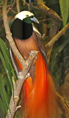 Espetacular Ave do Paraiso com sua esplendida plumagem e longas penas da cauda, encontrada nas densas florestas da Nova Guine.
