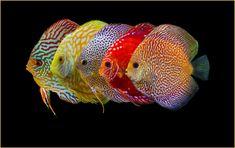 5 Discus varieties Discus Fish, Pets, Animals, Aquarium, Animales, Animaux, Animal, Animais, Animals And Pets