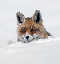 The Fox and the SnowbySergio Luzzini. °