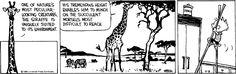 THE DAILY CALVIN: Calvin and Hobbes, April 8, 1989 - One of nature's most peculiar-looking creatures, the giraffe is uniquely suited to its environment. His tremendous height enables him to much on the most succulent morsels most difficult to reach.