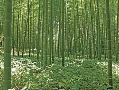 Brewster UMB91133 96Inch By 126Inch Bamboo Forest Wall Mural ** For More  Information, Visit Part 77