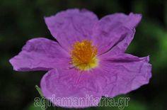 Κίστος - Λαδανιά - Κουνούκλα - Cistus incanus creticus Έχουν τη ιδιότητα να δημιουργούν συμβιωτική σχέση με το Boletus edulis Τσαι βότανο θεραπευτικο Herbs, Rose, Garden, Flowers, Plants, Pink, Garten, Lawn And Garden, Herb