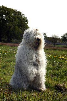 .Old English Sheepdog  standing watch