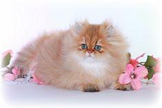 Chinchilla Golden Persian Kitten