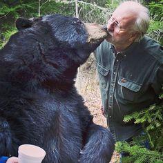 """Lynn Rogers of Ely permite a Ted, un oso negro manso criado por los seres humanos, darle un """"beso"""" en el recinto en el Bear Center. El investigador de osos es reconocido por alimentar a los animales con sus manos y difundir el nacimiento de los cachorros a través de Internet en Minnesota. Foto: AP"""