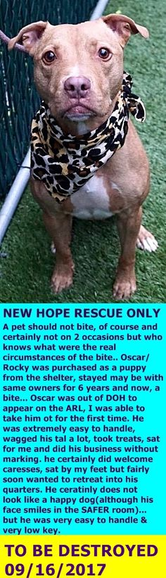 MURDERED 09/16/17 --- RETURN 09/04/17 BITE PPL ---  ADOPTED 02/21/11 --- SUPER URGENT Manhattan Center ROCKY – A0887556  *** DOH B – RETURNED 09/04/17 ***  MALE, TAN / WHITE, PIT BULL MIX, 7 yrs STRAY – ONHOLDHERE, HOLD FOR DOH-B  Intake condition UNSPECIFIE Intake Date 01/26/2011  http://nycdogs.urgentpodr.org/rocky-a0887556/