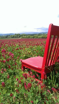 Red stopped to smell the Crimson Clover in the Willamette Valley.  The clover is used as a cover crop and for bees to make yummy honey.