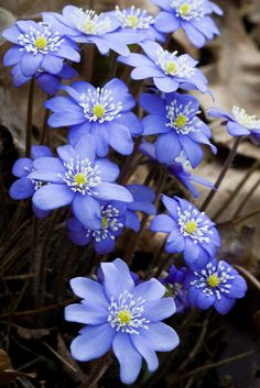 Hepatica - Picture taken in England, I think. Wild American ones look different. Now I need another picture!