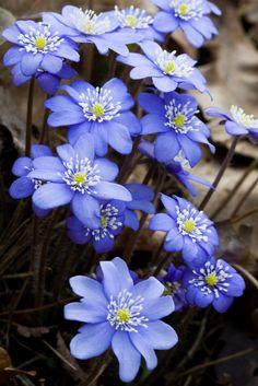 hepatica-lentebloemen-flowers beginjaren-Blumendeko lente Source by Amazing Flowers, My Flower, Purple Flowers, Spring Flowers, Flower Power, Wild Flowers, Beautiful Flowers, Beautiful Gorgeous, Trees To Plant