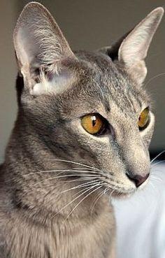 The Oriental Shorthair Cat - Cat Breeds Encyclopedia