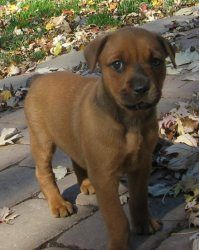 SASSY - ADOPT A PET NOTICE is an adoptable Labrador Retriever Dog in Marion, IN. THERE ARE 10 OF US IN THIS LITTER AND SOME OF US LOOK LAB MIX, SOME LOOK SHEPHERD MIX, SOME LOOK ROTT MIX, SOME LOOK WE...