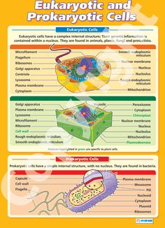Larger than in size - The Eukaryotic and Prokaryotic Cells Wall Chart is ideal for your science classroom. Suitable from GCSE to A-Level, it is colourful, concise and outlines the key concepts in this topic. A Level Biology, High School Biology, Biology Teacher, Cell Biology, Ap Biology, Science Biology, Teaching Biology, 7th Grade Science, Middle School Science