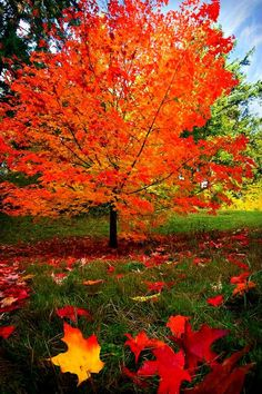 One of my favourite trees is the maple tree. Its colours in the autumn are beautiful! Fall Pictures, Fall Photos, Autumn Scenes, Maple Tree, Maple Syrup Tree, Seasons Of The Year, Jolie Photo, Fall Harvest, Autumn Leaves