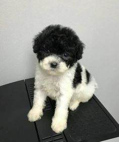 Blake1 Poodle Puppy Miniature, Mini Poodle Puppy, Teacup Poodle Puppies, Tiny Toy Poodle, Poodle Puppies For Sale, Tea Cup Poodle, Poodle Mix, Toy Puppies, Cute Puppies