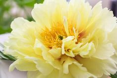A personal favorite from my Etsy shop https://www.etsy.com/listing/279116076/10-chinese-yellow-peony-flower-seeds