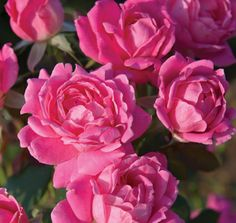 The Pink Double Knock Out® Rose has bright bubble gum pink flowers on one of the toughest shrub roses ever...with plenty of drought tolerance once established and disease resistance too!
